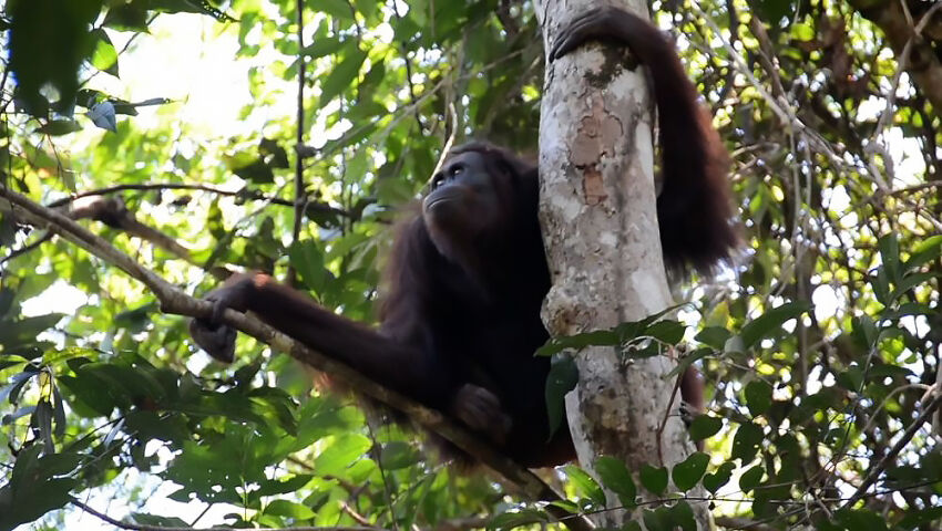 The First Orangutan Release Of 2021 - 10 Orangutans Back In The Wild!