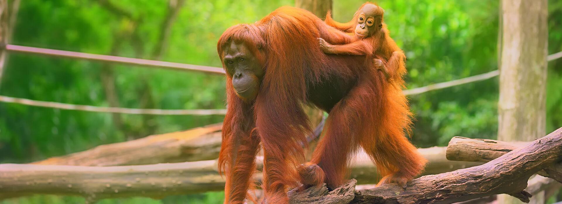Volunteer On The Samboja Lestari Orangutan Volunteer Project