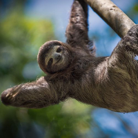 12 Week Internships at the Sloth Conservation and Wildlife Experience