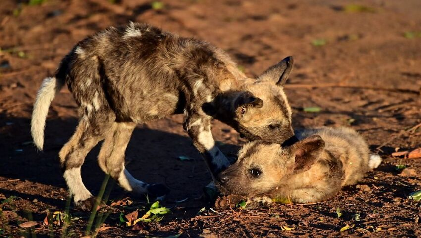 Zululand's Remarkable Painted Puppies Reared By Pack Males!