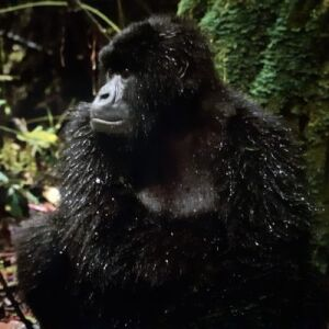 Tina's Experience Of The Great Gorilla Project!
