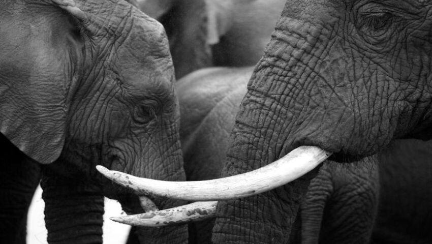 The Truth About The Ivory Trade - Only 50,000 Asian Elephants Left In The Wild