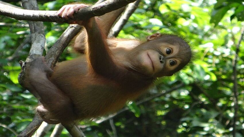 Want To Know More About Orangutan Holidays?