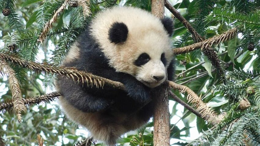 Learn A Little More About The Giant Panda Volunteer Experience