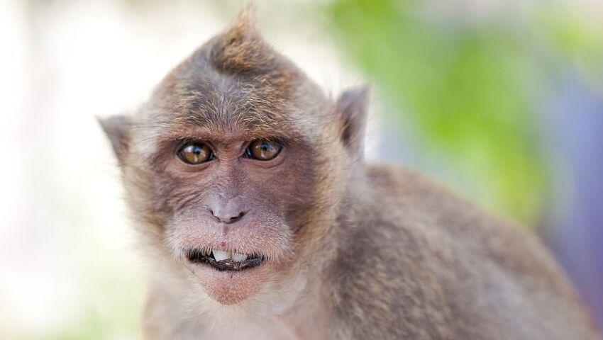 What's The Difference Between Monkey and Ape?