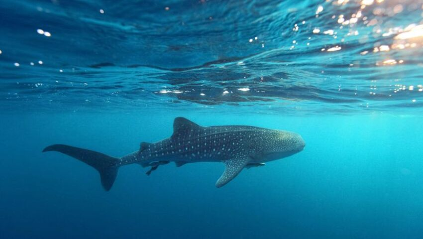 World Whale Shark Day 2017! Wild Population Numbers Of This Elusive Species Are Unknown!