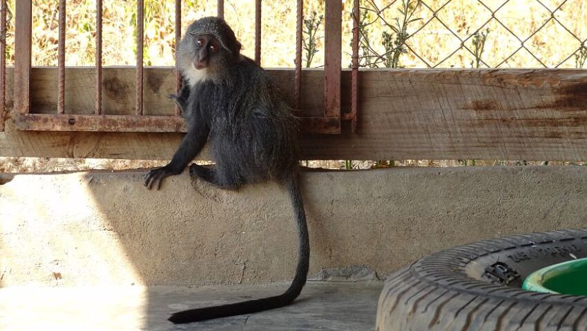More Great News From Lilongwe, Including A Mischievous Monkey And Three Jackals!