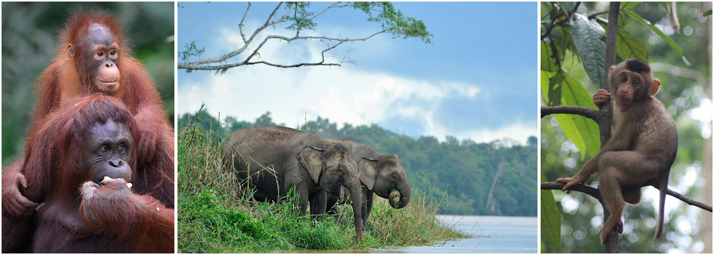 The Great Orangutan and Pygmy Elephant Project