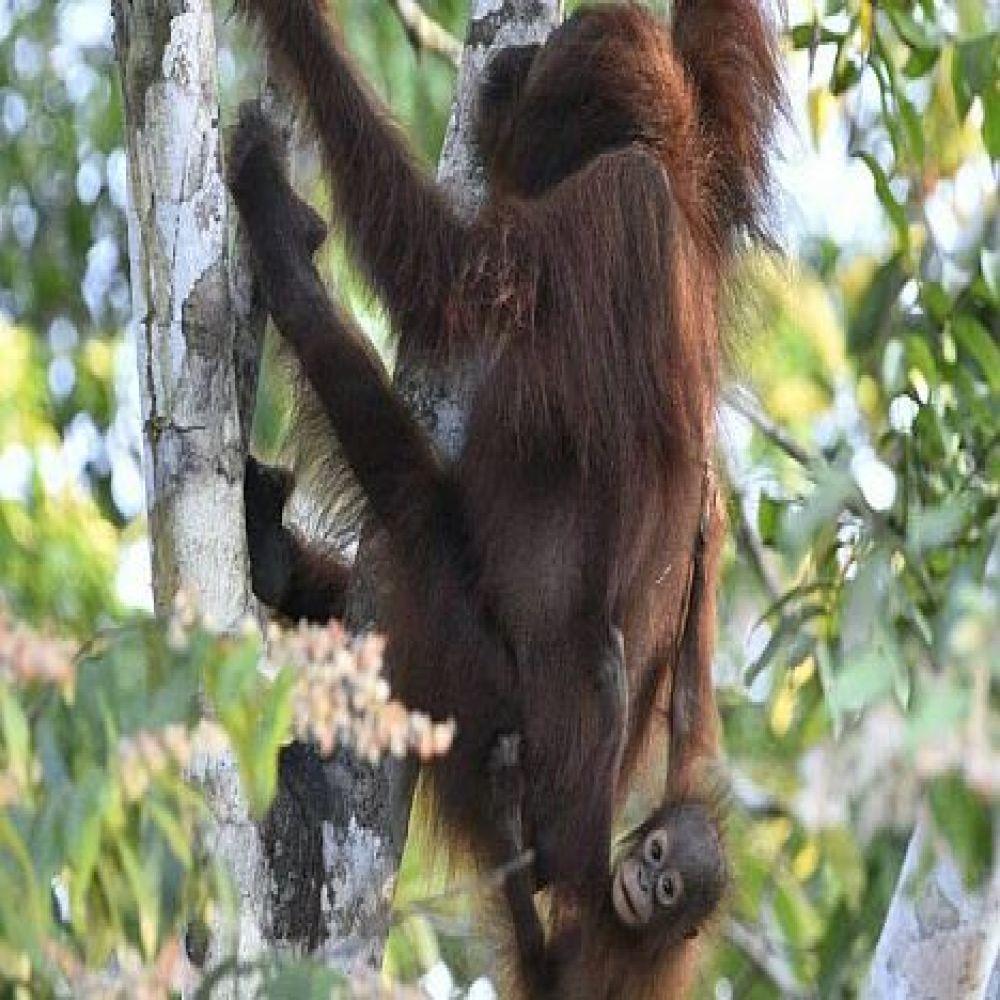 Visit To Sepilok Orangutan Rehabilitation Centre