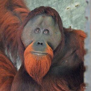 The First Orangutan Release Of 2021 - 10 Orangutans Back In The Wild!