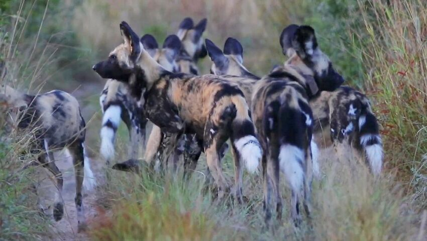Zululand Wildlife Conservation Project – Tembe's Wild Dog Pack Is Growing!