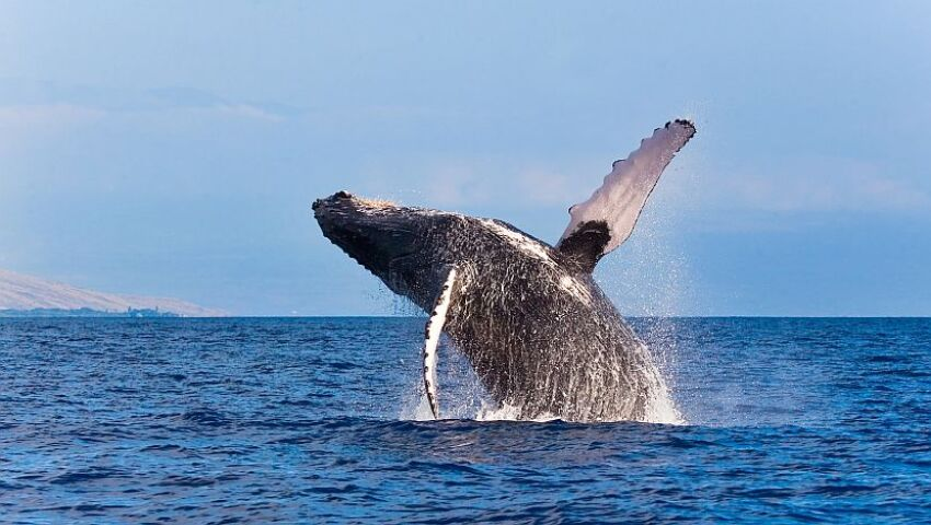 Whale Facts - Learn All About These Fascinating Creatures!