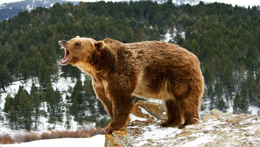 Our Top 5 Grizzly Bear Facts!
