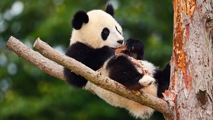 How Much Do You Know About The Giant Panda? Our Top 5 Panda Facts!