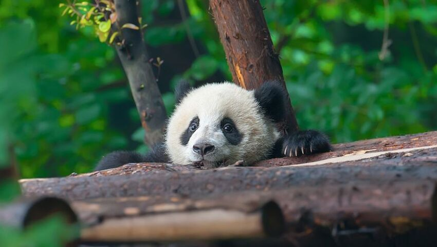 Become A Panda Expert By Checking Out Our Panda Day Infographic