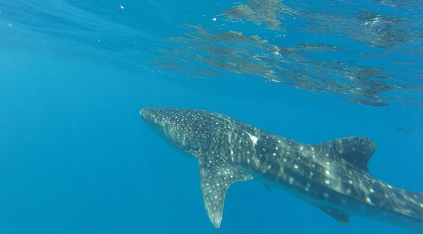 Will's Experience on the Whale Shark Research Project