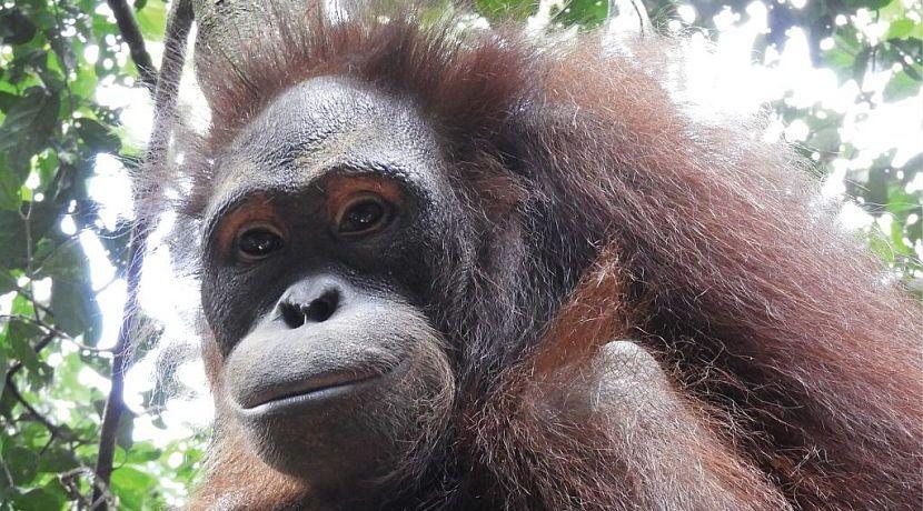 6 More Orangutans Ready For Release At Samboja Lestari!