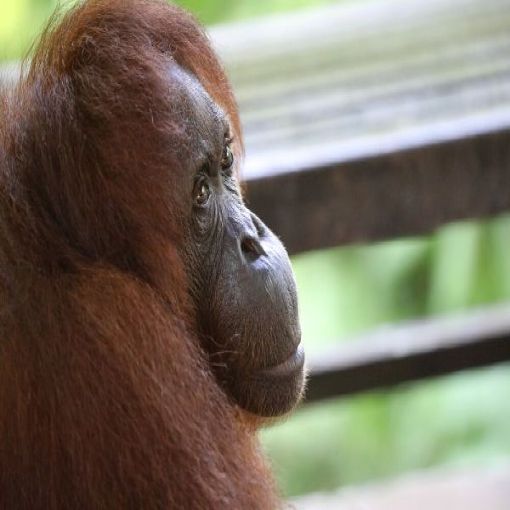Visit Semenggoh Wildlife Centre