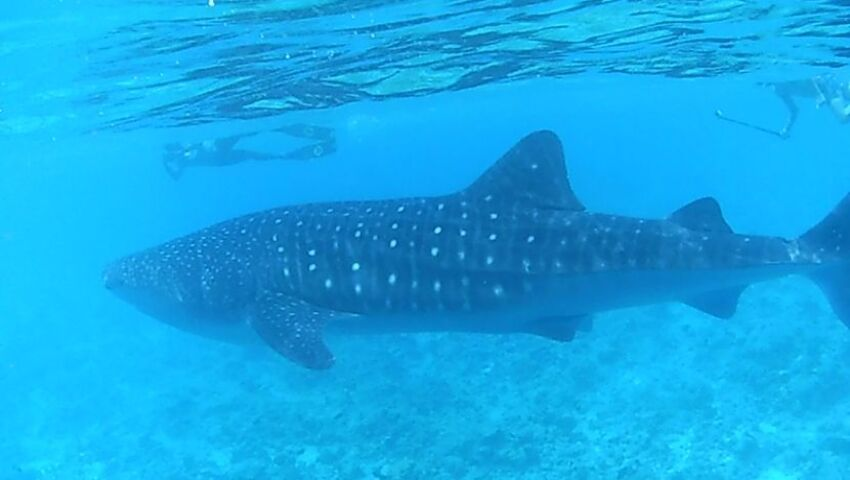 Volunteer Juliet Reviews The Whale Shark Research Project!