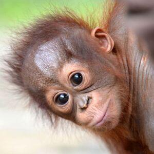 3 Baby Orangutans Rescued Already in 2021