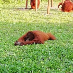 Nicki Reviews Her Experience At The Nyaru Menteng Orangutan Sanctuary!