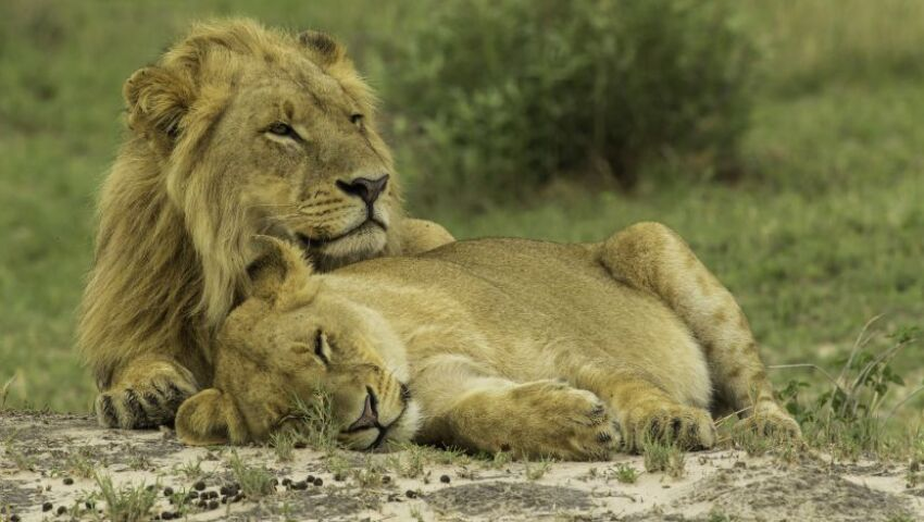 Meet Kevin Richardson, The Alleged 'Lion Whisperer' - What Do You Think Of His Practices?