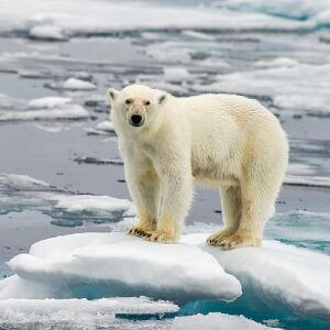 International Polar Bear Day  - See How You Could Make A Difference