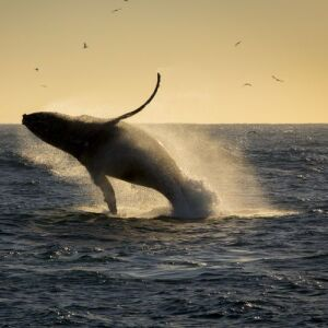 Experience Humpback Whale Season In Mozambique This Summer!
