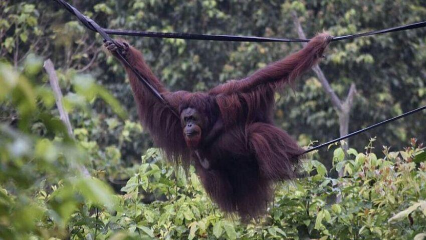 Our Top 3 Orangutan Rehabilitation Stories