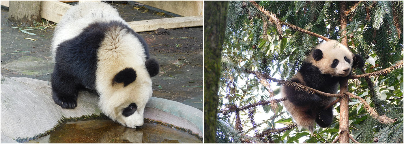Panda Conservation Volunteer Projects