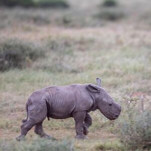 Thandi and Family – New Baby Rhino at Kariega!