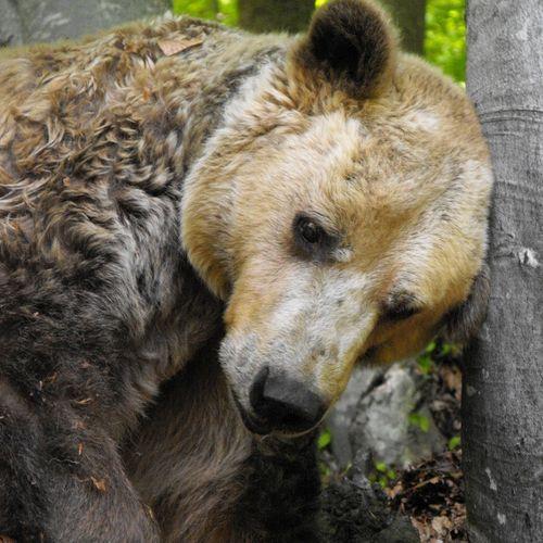 Romanian Bear Sanctuary