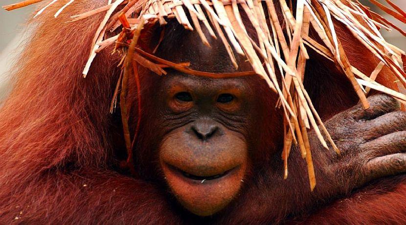A Day In The Life Of An Orangutan Volunteer