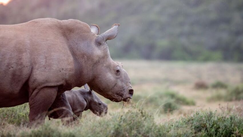 Thandi and Family – New Baby Rhino at Kariega!
