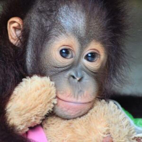 Samboja Lestari Orangutan Volunteer Project
