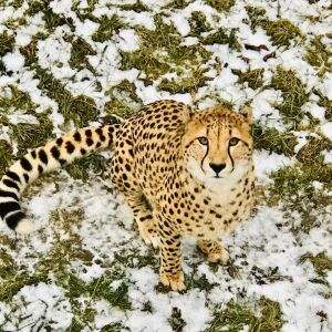 From Canada to Zimbabwe, Two Captive-bred Cheetah Brothers Have Been Successfully Rewilded!
