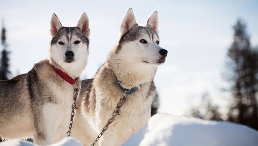 Discover How The Husky Has Earned Its Place In Finnish History!