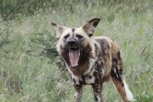 African Wild Dog & Elephant Monitoring at Mangetti