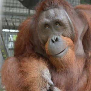An Update From Nyaru Menteng – Meet The 6 Most Recent Orangutan Release Candidates