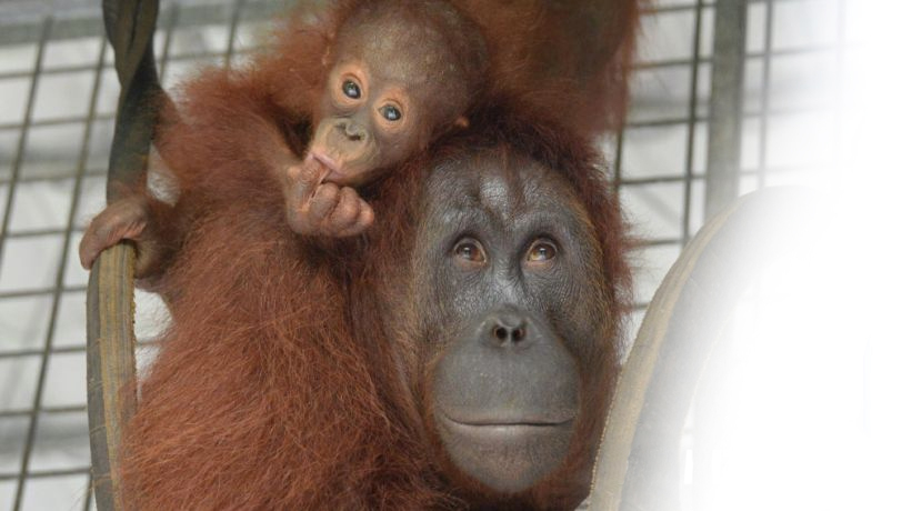 An Update From Nyaru Menteng – Meet The 6 Most Recent Orangutan Release Candidates