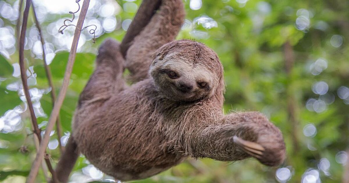 Image result for two and three toed sloths
