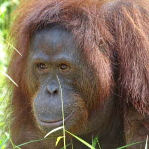 Bambi's Experience At The Nyaru Menteng Orangutan Sanctuary!
