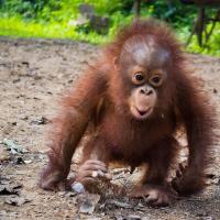 Be an Orangutan Sanctuary Volunteer