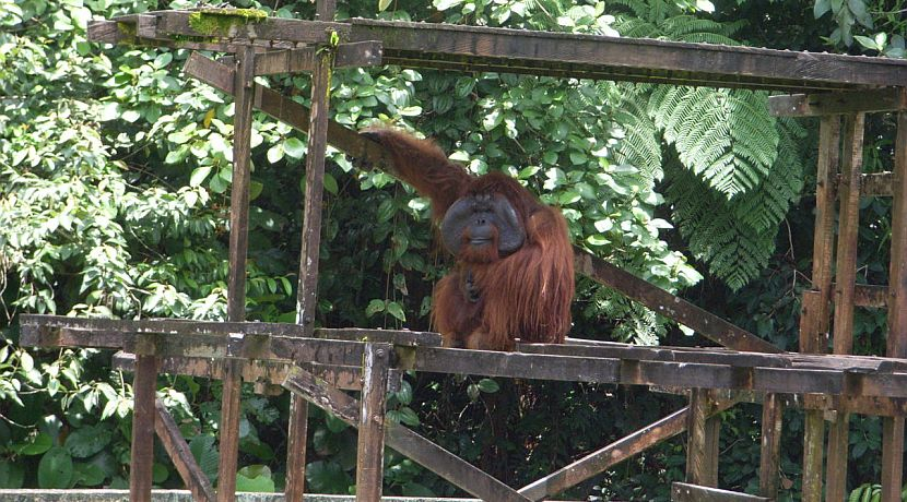 'Being so close to the beautiful orangutans was amazing' - Read Erika's Review Of The Great Orangutan Project!