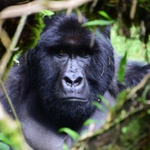 """The Great Gorilla Project Review - """"More than an adventure, it is a trip of a lifetime!"""""""
