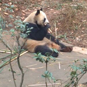 Check Out Our Latest Volunteer Update From The Panda Volunteer Experience In China - In Pictures!