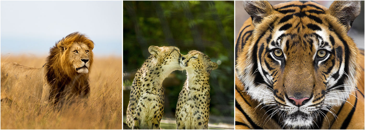 Big Cat Conservation