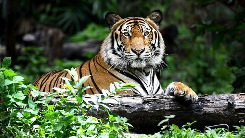 International Tiger Day - Populations Increase By 20% For The First Time in 100 Years, But There Is Still A Way To Go