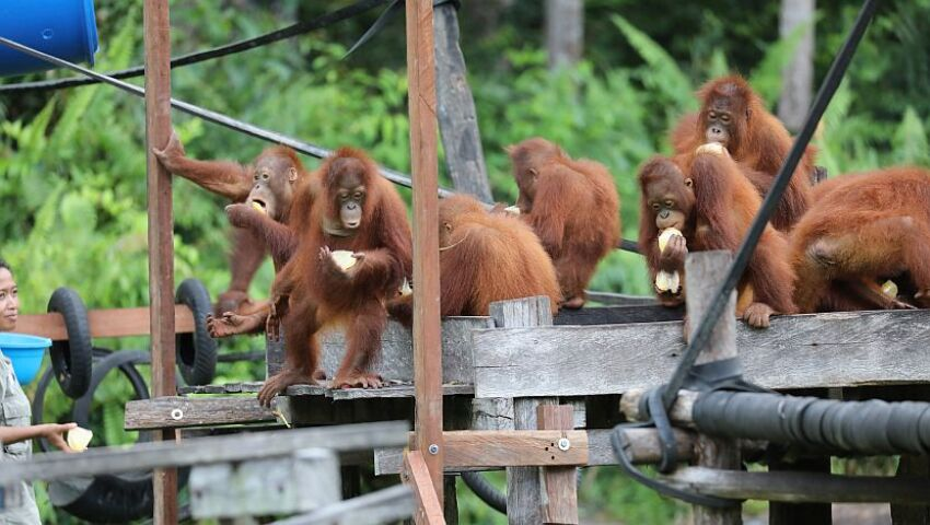 A Big Thank You To Our Supporters This International Orangutan Day!