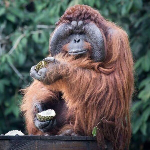 The Great Orangutan Project